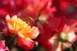 薔薇とミツバチ 1