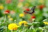 アゲハチョウ 花畑に舞う2