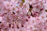 満開 河津桜