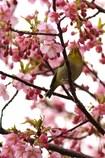 メジロさん 春を満喫 4