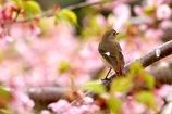 桜色 ジョビ子さん 1