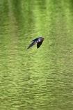 ツバメ 飛翔2