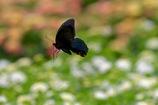 黒アゲハのウキウキ飛翔
