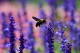花壇の王様 クマバチ