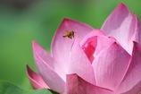 ミツバチさん 蓮に舞う2