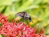 彼岸花に飛ぶ アゲハチョウ