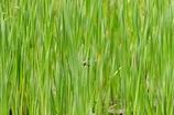 葦の茂みのギンヤンマ