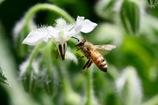 ホリジの花とミツバチ