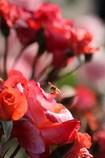 薔薇とミツバチ 3