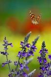花から花へ   ヒメアカタテハ