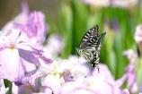 花菖蒲にフワリ アゲハチョウさん