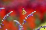 花へと降り立つ   ヒメアカタテハ