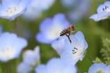 ミツバチ 花を蹴って