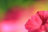 colorful  ペチュニア