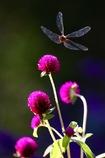 宙に咲く花  赤トンボ