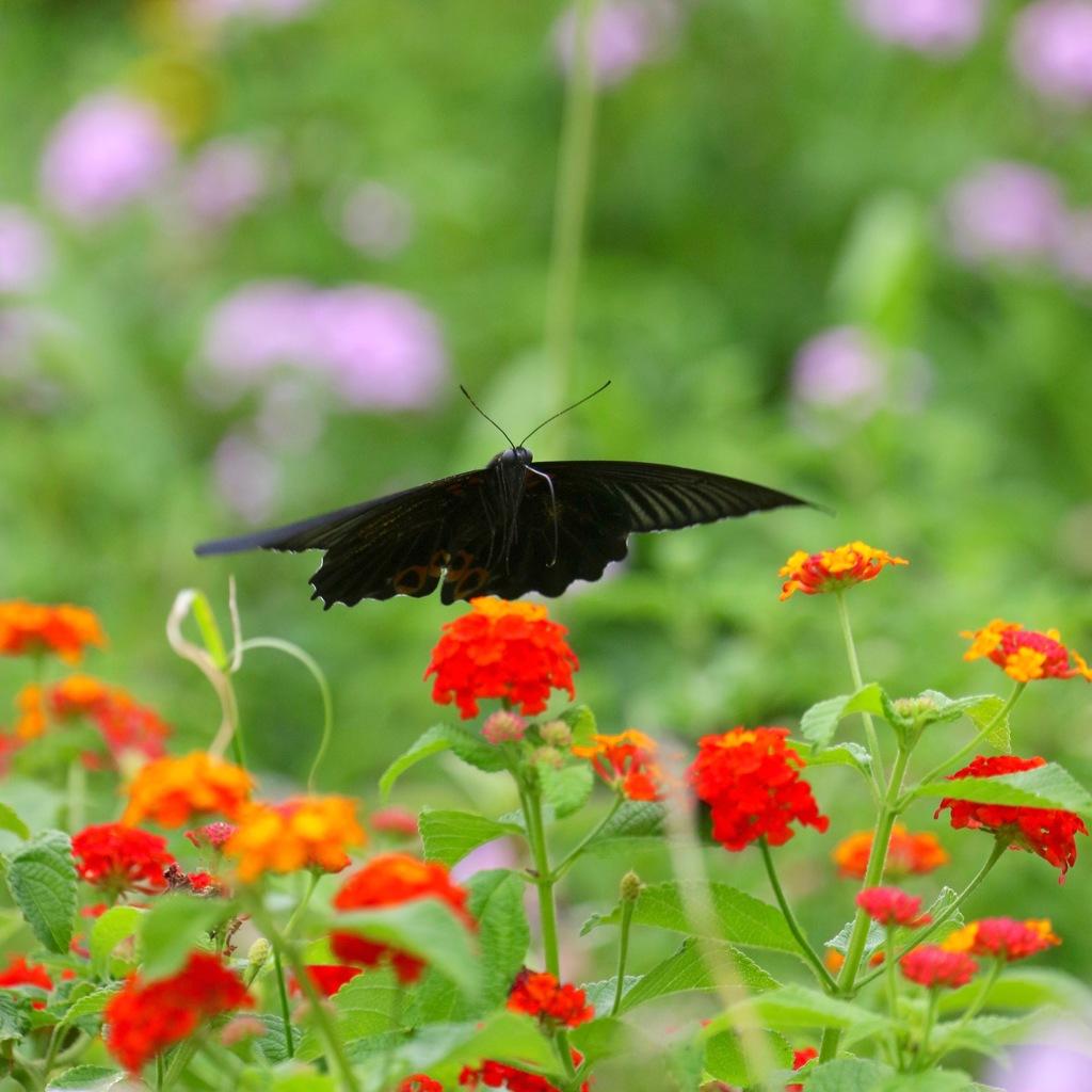 花から花へ ナガサキアゲハさん
