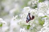 白いオアシス  アサギマダラ