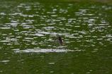 ツバメ 離水