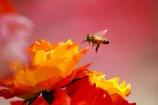 バラとミツバチさん
