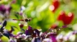 花壇を飛ぶ赤トンボ   アキアカネ
