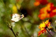 花へ飛ぶ モンシロチョウ