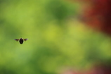 クマバチ 縄張り監視中