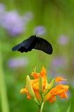 花にふわり ナガサキアゲハ 1