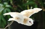 メンフクロウ 無音飛行