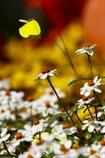 花から花へ   キタキチョウ