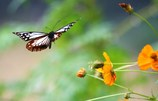 飛来  アサギマダラ