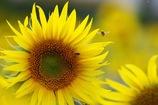 ヒマワリにミツバチさんがやって来た♪