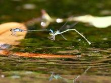 イトトンボの産卵ペア飛行