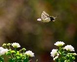 ランタナに舞う1   アゲハチョウ