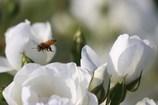 薔薇とミツバチ 2