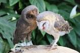 メンフクロウ 相思相愛
