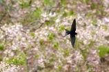 桜ツバメ 飛翔
