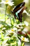 花を蹴って  アオスジアゲハ