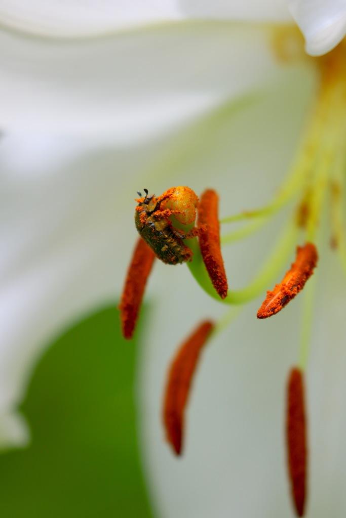 持ちつ持たれつ 花と虫  コアオハナムグリさん