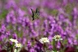 アゲハチョウ 花畑に舞う1