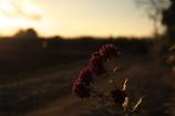 小菊の咲く小道