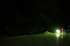 摂津峡の蛍①