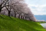 桜並木 2017
