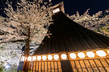 夜桜 奥の細道