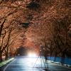 桜開花 3/31