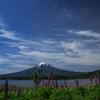 ルピナスと富士