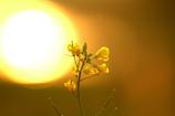 朝日と菜の花