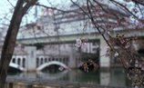 中之島の桜3