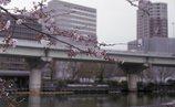 中之島の桜4