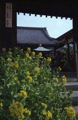 菜の花の咲く寺