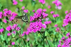 虫取り撫子と揚羽蝶